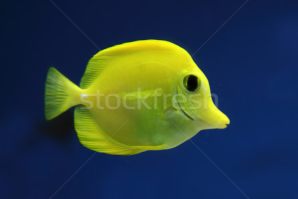 exotis fish Stock photo © jonnysek