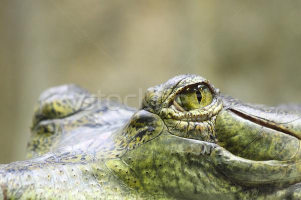 eyes of aligator  Stock photo © jonnysek