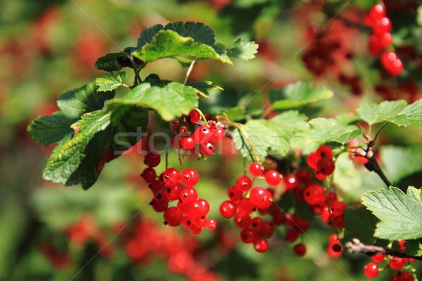 Kırmızı frenk üzümü meyve güzel gıda doğa Stok fotoğraf © jonnysek