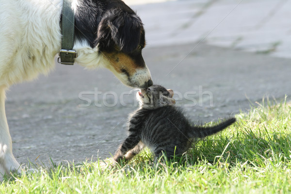 cat and dog Stock photo © jonnysek