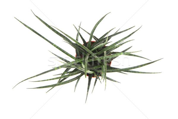 Sansevieria plant Stock photo © jonnysek