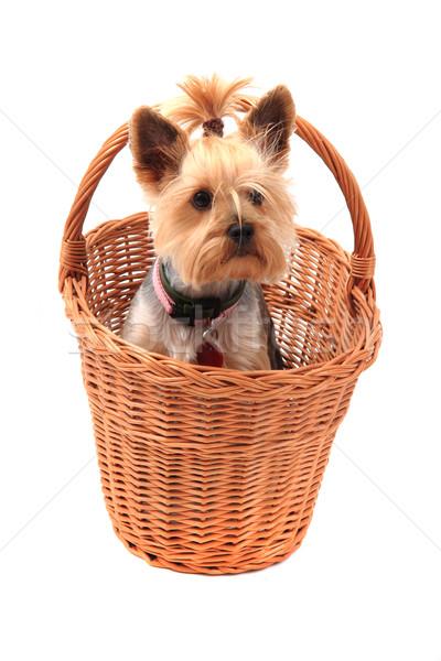 yorkie terrier isolated Stock photo © jonnysek