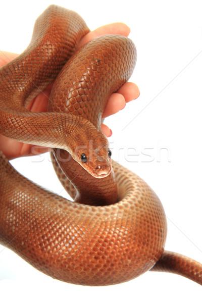 rainbow boa snake Stock photo © jonnysek