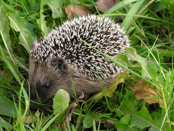 hedgehog in the grass Stock photo © jonnysek