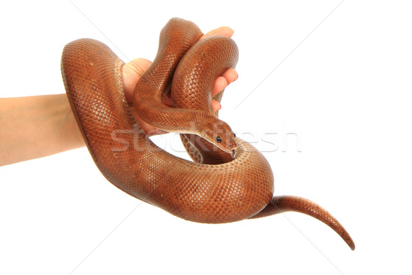 rainbow boa snake Stock photo © jonnysek