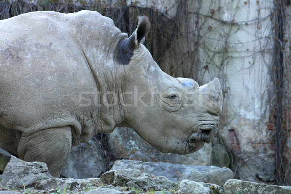 rhino Stock photo © jonnysek