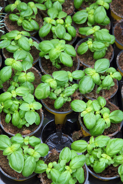 sweet basil plants Stock photo © jonnysek
