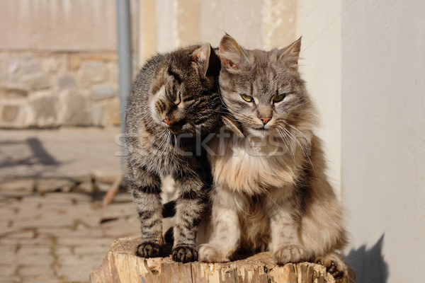 two cats Stock photo © jonnysek