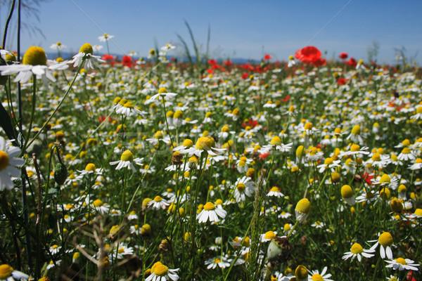 Foto stock: Agradable · blanco · manzanilla · campo · cielo · azul · primavera