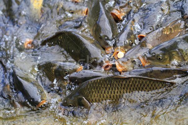 carp fishes are hungry  Stock photo © jonnysek