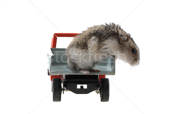 young dzungarian hamster in the toy car Stock photo © jonnysek