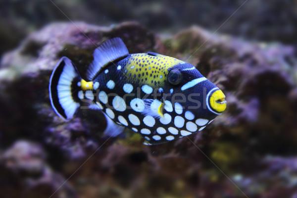 color exotic fish  Stock photo © jonnysek