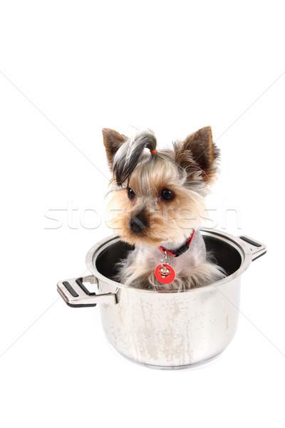 small yorkie dog in the pot Stock photo © jonnysek