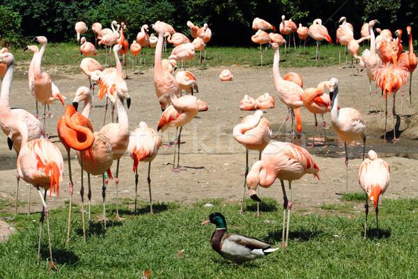flamingos Stock photo © jonnysek