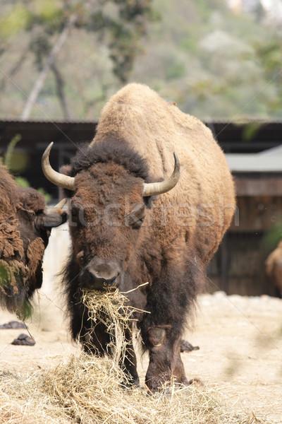 bison Stock photo © jonnysek