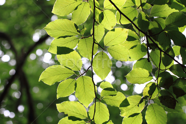 beech leaf background Stock photo © jonnysek