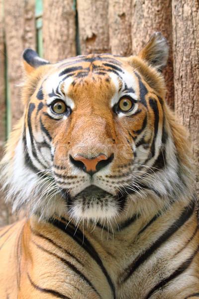 head of tiger Stock photo © jonnysek