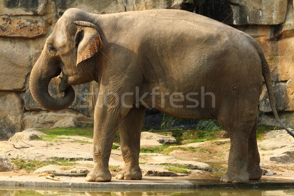 elephant Stock photo © jonnysek