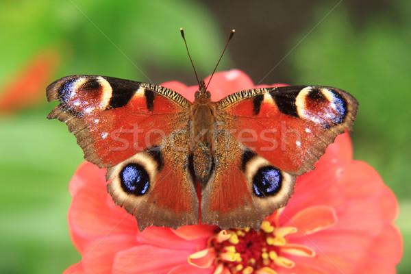 Imperador borboleta jardim de flores primavera natureza jardim Foto stock © jonnysek