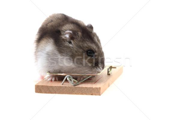 Jonge hamster geïsoleerd witte muis achtergrond Stockfoto © jonnysek