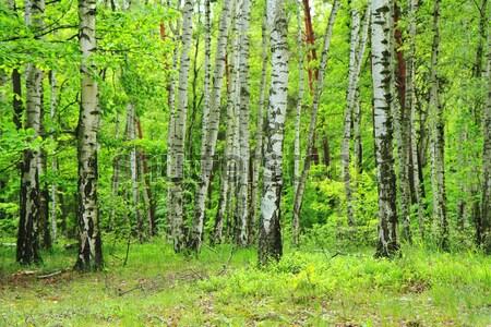 Zielone brzozowy drzewo lasu czech wiosną Zdjęcia stock © jonnysek