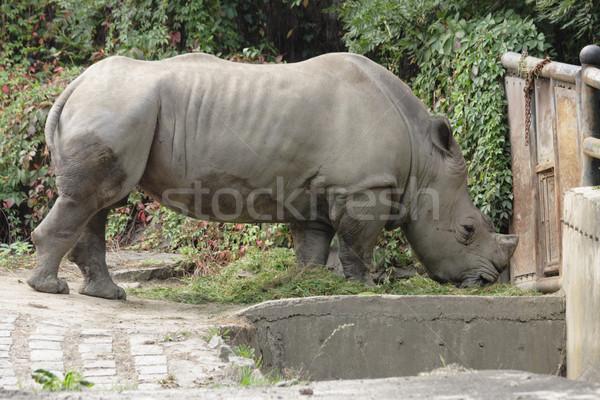 rhino Stock photo © jonnysek