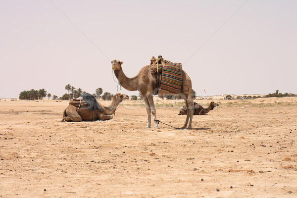 camels and sahara Stock photo © jonnysek