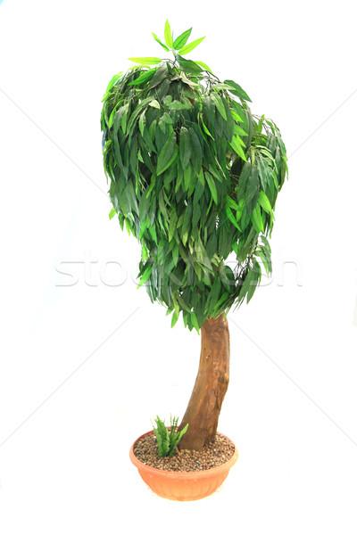 mango tree isolated Stock photo © jonnysek