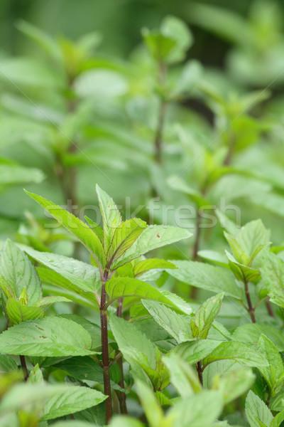 De verde fresco naturalismo comida textura Foto stock © jonnysek