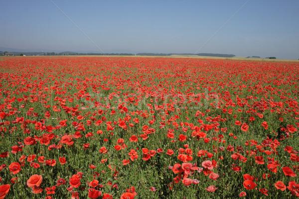 poppy flower field Stock photo © jonnysek