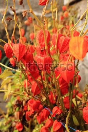 осень цвета листьев Nice природного текстуры Сток-фото © jonnysek