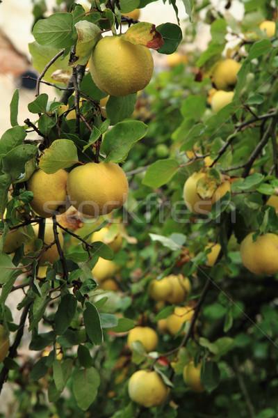 Meyve bahçe Çek Cumhuriyeti gıda doğa sağlık Stok fotoğraf © jonnysek