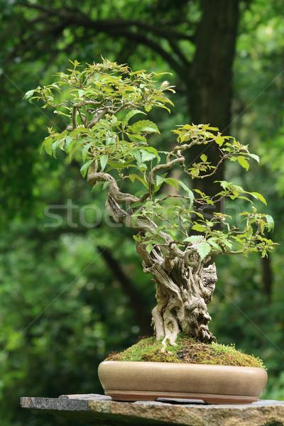 盆栽 いい 小 ツリー チェコ語 公園 ストックフォト © jonnysek