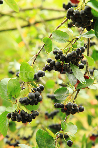 Black ashberry plant with fruits Stock photo © jonnysek