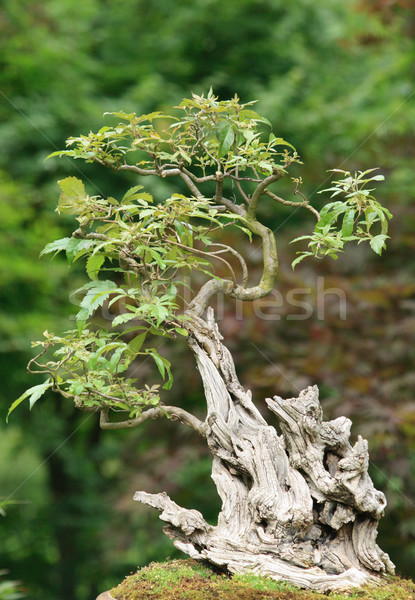 bonsai Stock photo © jonnysek