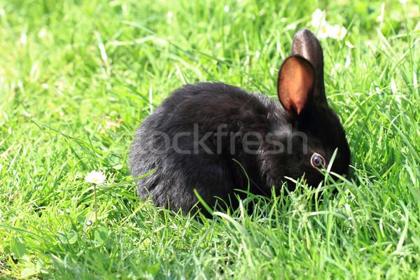 Noir lapin herbe faible herbe verte Pâques Photo stock © jonnysek