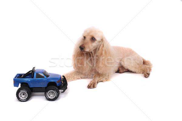 poodle and the car Stock photo © jonnysek