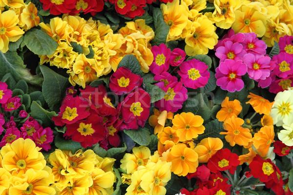 цвета весенние цветы Nice природного небе весны Сток-фото © jonnysek