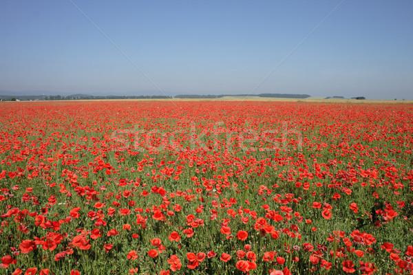 red poppy flower field Stock photo © jonnysek