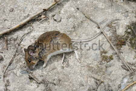 dead mouse Stock photo © jonnysek