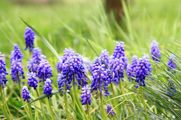 Szőlő jácint virág szép természetes tavasz Stock fotó © jonnysek