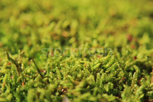green moss texture Stock photo © jonnysek