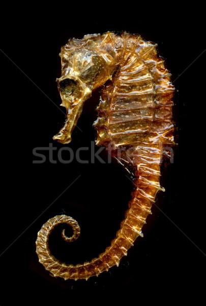 sea horse Stock photo © jonnysek