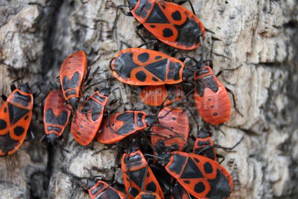 Vermelho erros marrom casca árvore grupo Foto stock © jonnysek