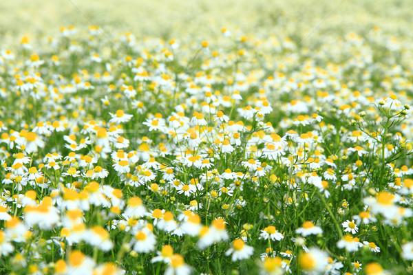 Manzanilla campo agradable naturales fondo belleza Foto stock © jonnysek