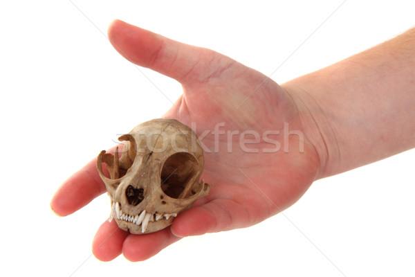 cat skul in human hand Stock photo © jonnysek