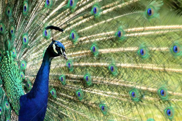孔雀 鳥 いい 動物 眼 自然 ストックフォト © jonnysek