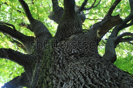 Vieux chêne tchèque forêt feuille fond Photo stock © jonnysek