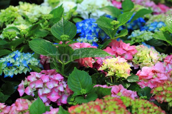 hortensia flowers background Stock photo © jonnysek