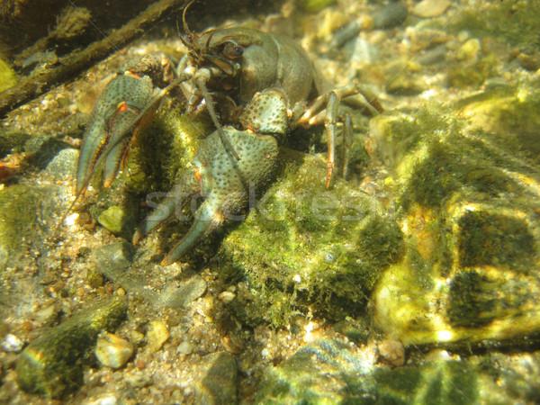 river blue cancer in water Stock photo © jonnysek